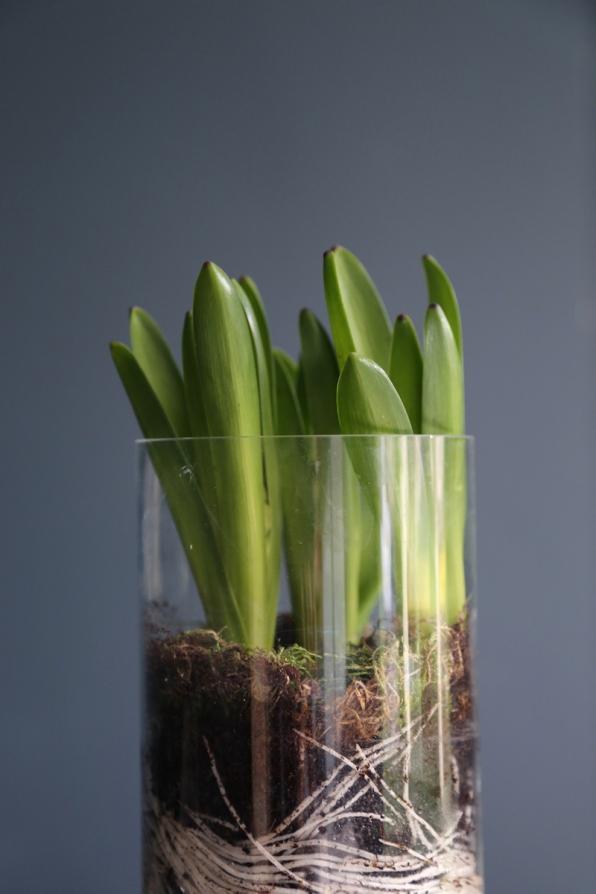 150219-Hyacinth-Close