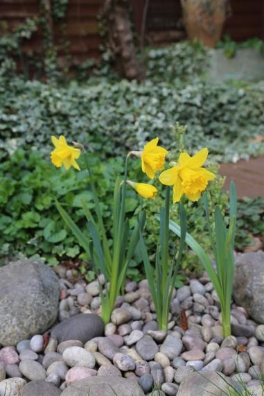 150322-Daffodils