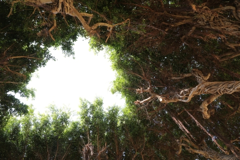 151007-SicilyBanyanTrees