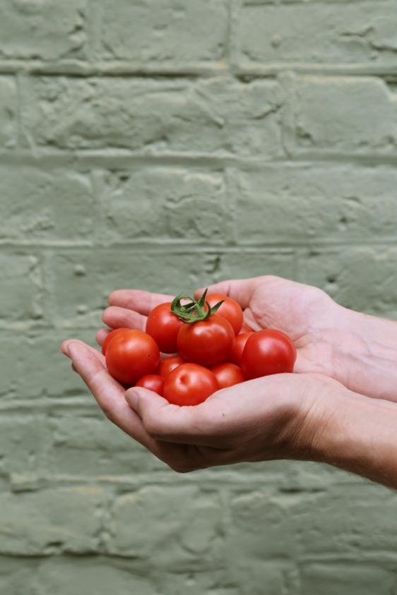 160904-TomatoHarvest