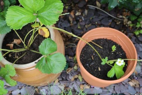 170723-StrawberryPlant