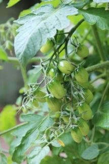 170723-TomatoPlant