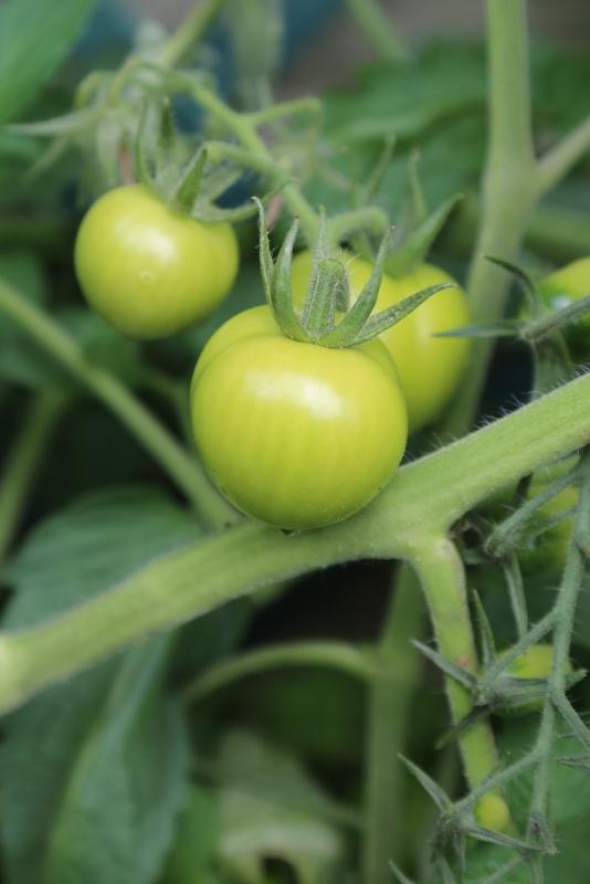 170723-TomatoPlant2