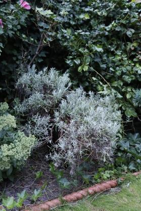 170826-Lavender-After