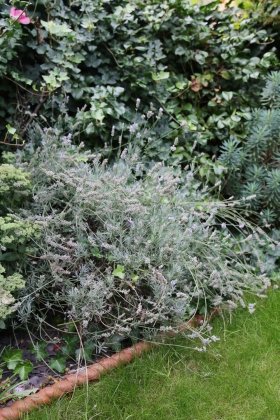 170826-Lavender-Before